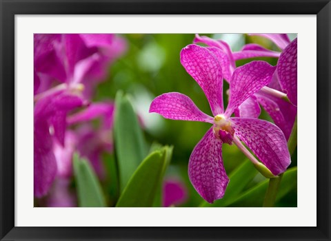 Framed Singapore, National Orchid Garden Print