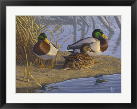 Framed Evening Rest - Mallards Print