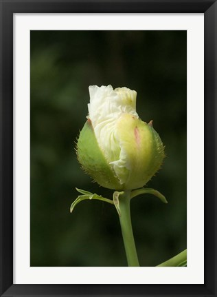 Framed Californian tree poppy flower ready to bloom Print