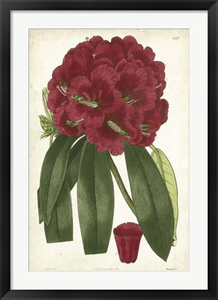 Framed Antique Rhododendron I Print