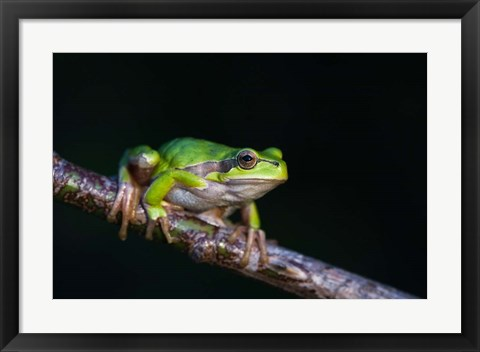 Framed Tree Frog in Lake Neusiedl Print