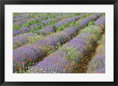 Framed Rows of Lavender in France Print