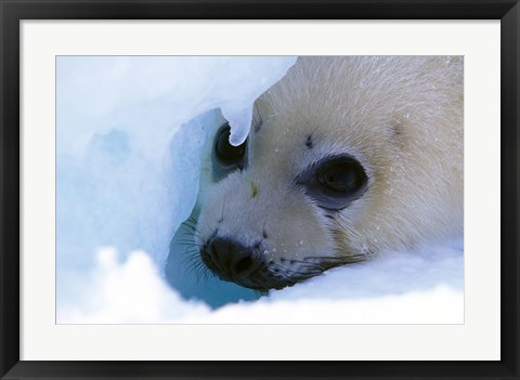 Framed Seal Pup on Gulf of St. Lawrence Print