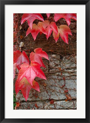 Framed Red Ivy on Stone Wall Print