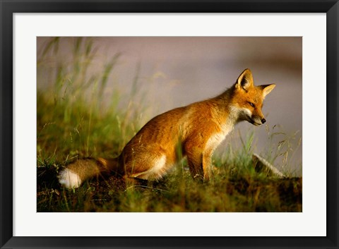 Framed Red Fox Cub Print