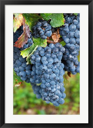 Framed Chateau Carignan, Merlot Grape Vineyard Print