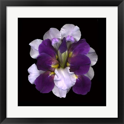 Framed Iris Reconstructed Print