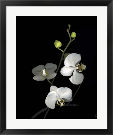 Framed Orchid '06 Print
