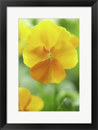 Framed Yellow Pansy Print