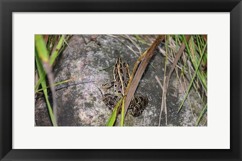 Framed Shades Of Nature Spotted Frog Print
