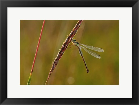 Framed Green Dragonfly On Red Stem Print