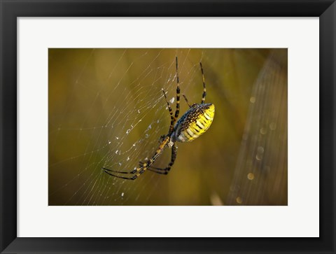Framed Yellow Spider On The Web Print