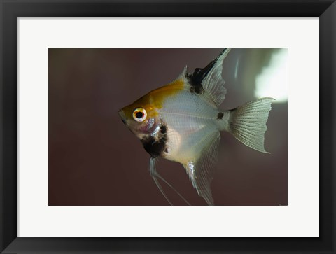 Framed Angel Fish I Print