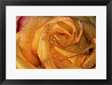Framed Rose Orange Closeup Print