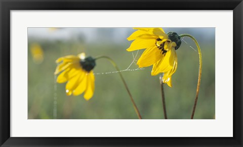 Framed Yellow Wild Flowers And Web Print