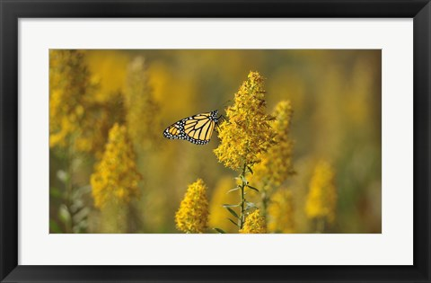 Framed Monarch 7 Print