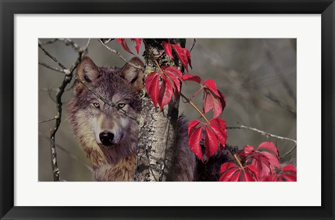 Framed Autumn Wolf Print