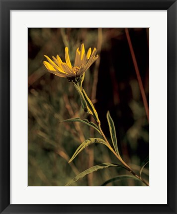 Framed Yellow Wildflower Solo Print