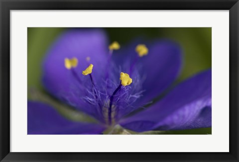 Framed Purple And Yellow Flower Closeup Print