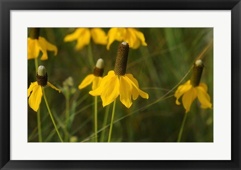 Framed Shades Of Nature Yellow Flowers Green Center III Print