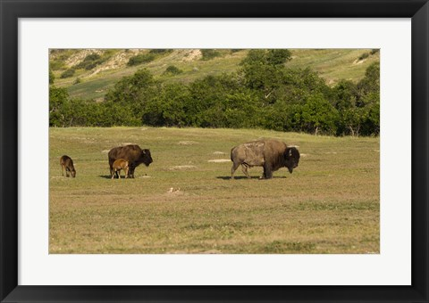 Framed Bison And Baby Bison Print