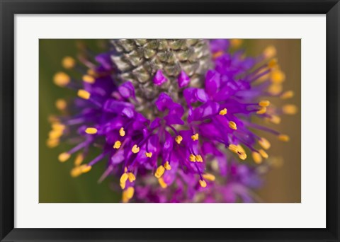 Framed Purple And Yellow Flower On Green Closeup Print