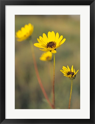 Framed Yellow Blooming Flower Trio Print