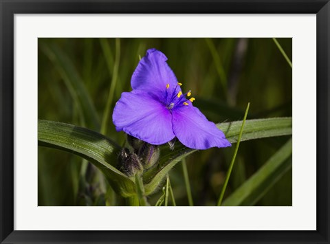 Framed Purple Flower In Bloom Print