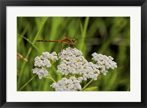 Framed Orang Dragonfly On White Wild Flowers Print