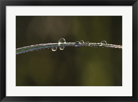 Framed Morning Dew On Blade Of Grass Print