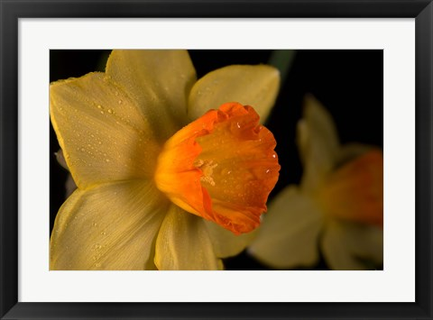 Framed Orange And Yellow Flower Side View Print