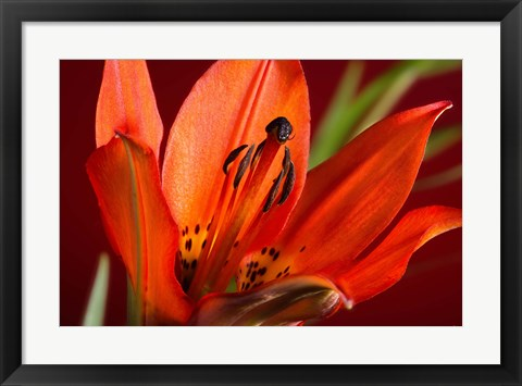 Framed Red Lily With Black Specks Print