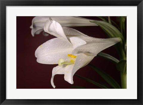 Framed White Lily On Red Print
