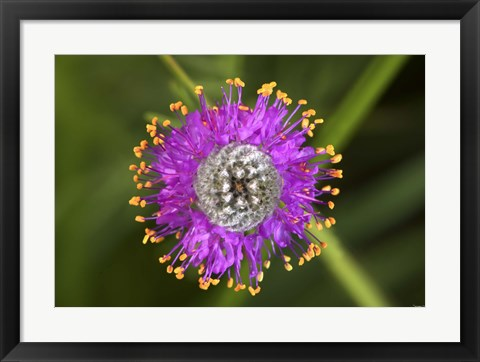 Framed Yellow And Purple Flower With Fibrous Center Print