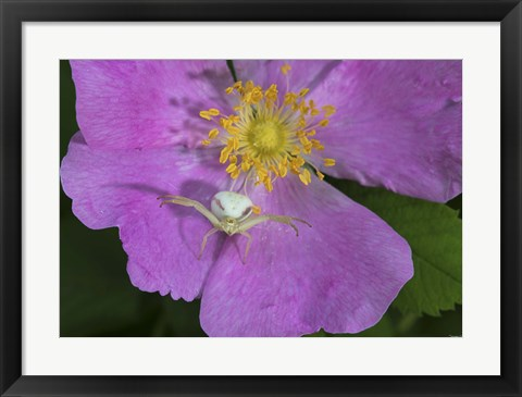 Framed North Shore Insect On Pink Flower Print
