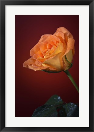 Framed Orang Rose On Red Glow Print