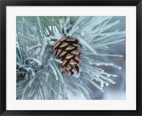 Framed Frosted Pine Cone And Pine Needles I Print