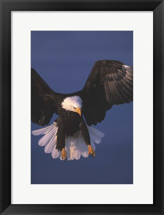 Framed Eagle Swooping In Print