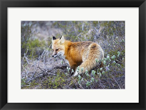 Framed Red Fox Print