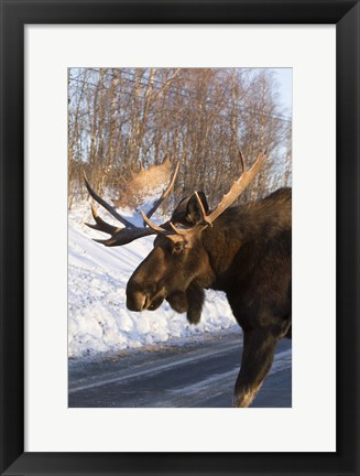 Framed Brown Moose On The Road Print