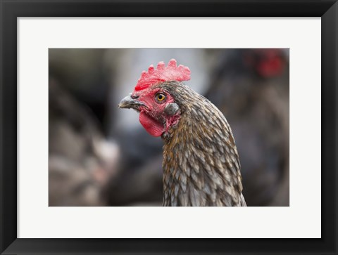 Framed Rooster In Red Closeup Print