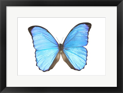 Framed Blue And Black Butterfly On White Print