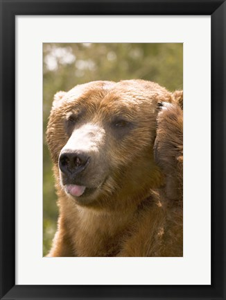 Framed Brown Bear Tongue Out Print
