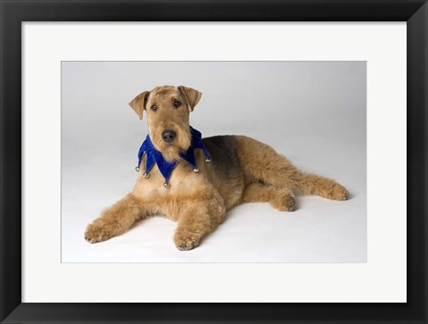 Framed Golden Terrier In Blue Print