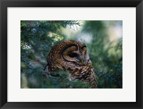Framed Brown Little Owl In Pine Print