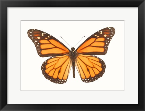 Framed Orange And Black Butterfly On White Print