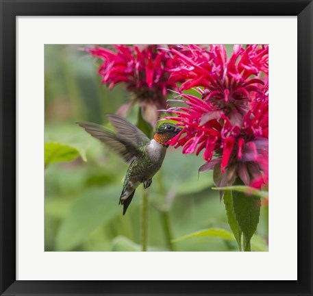 Framed Hummign Bird And Pink Flowers Print