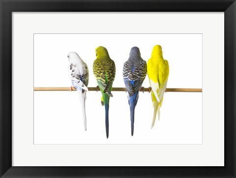 Framed Four Love Birds - Back View Print