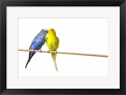 Framed Two Love Birds II Print