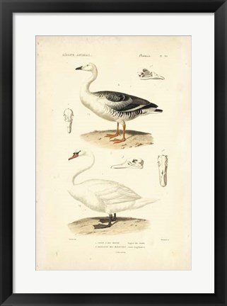 Framed Antique Swan Study Print